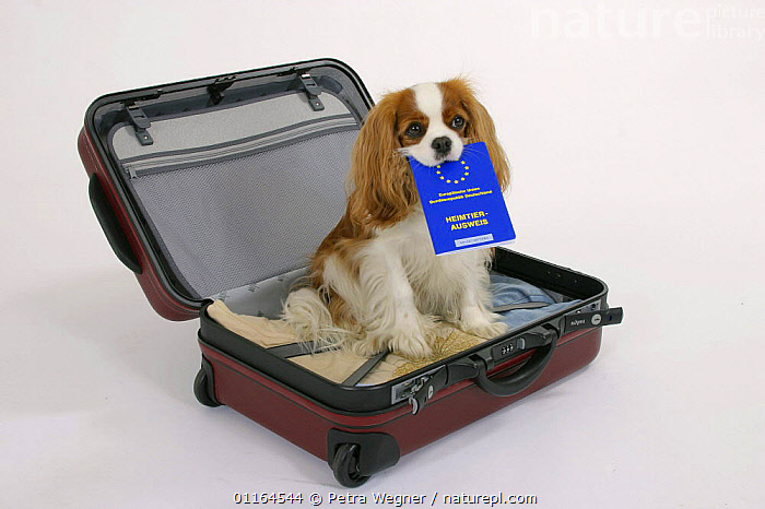 Domestic dog, Cavalier King Charles Spaniel (Blenheim) in suitcase with vaccination card in mouth  ,  CUTE,CUTOUT,DOGS,pedigree,PETS,SITTING,Studio,toy dogs,Travel,VERTEBRATES,Canids,passport  ,  Petra Wegner