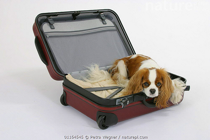 Domestic dog, Cavalier King Charles Spaniel (Blenheim) in open suitcase, CUTE,CUTOUT,DOGS,lying down,pedigree,PETS,Studio,toy dogs,Travel,VERTEBRATES,Canids, Petra Wegner