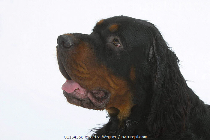 Domestic dog, Gordon Setter profile, CUTE,CUTOUT,DOGS,gundogs,HEADS,pedigree,PETS,sporting,Studio,VERTEBRATES,Canids, Petra Wegner