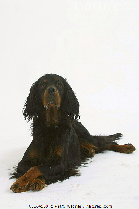 Domestic dog, Gordon Setter, CUTOUT,DOGS,gundogs,lying down,pedigree,PETS,sporting,Studio,VERTEBRATES,VERTICAL,Canids, Petra Wegner