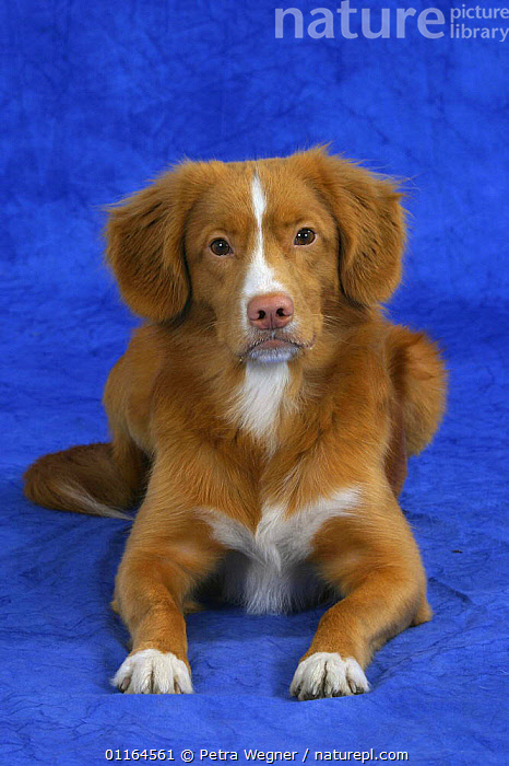 Domestic dog, Nova Scotia Duck Tolling Retriever / Duck Toller, DOGS,gundogs,lying down,pedigree,PETS,sporting,Studio,VERTEBRATES,VERTICAL,Canids, Petra Wegner
