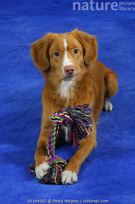Domestic dog, Nova Scotia Duck Tolling Retriever / Duck Toller with toy, CUTE,DOGS,gundogs,lying down,pedigree,PETS,sporting,Studio,VERTEBRATES,VERTICAL,Canids, Petra Wegner