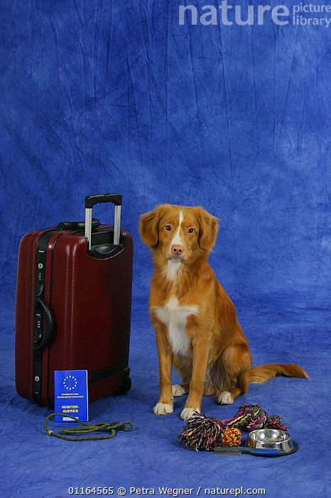 Domestic dog, Nova Scotia Duck Tolling Retriever / Duck Toller with suitcase and vaccination card  ,  bowl,DOGS,gundogs,leash,pedigree,PETS,SITTING,sporting,Studio,Travel,VERTEBRATES,VERTICAL,Canids  ,  Petra Wegner