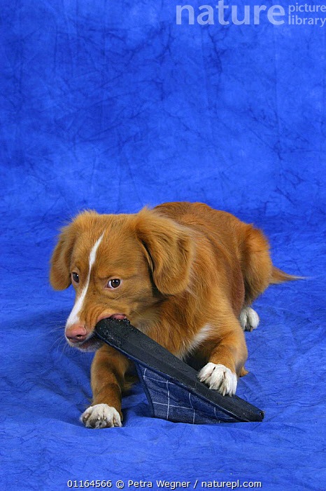 Domestic dog, Nova Scotia Duck Tolling Retriever / Duck Toller gnawing on slipper  ,  BEHAVIOUR,biting,DOGS,gundogs,lying down,pedigree,PETS,playing,sporting,Studio,VERTEBRATES,VERTICAL,Canids  ,  Petra Wegner