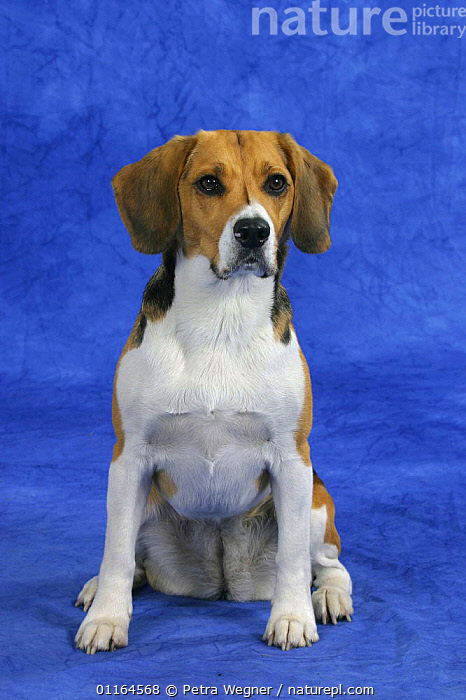 Domestic dog, Beagle bitch, DOGS,female,gundogs,hounds,pedigree,PETS,SITTING,sporting,Studio,VERTEBRATES,VERTICAL,Canids, Petra Wegner