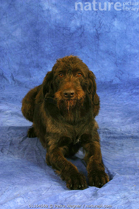 Domestic dog, German Broken-coated Pointing Dog, DOGS,gundogs,lying down,pedigree,PETS,sporting,Studio,VERTEBRATES,VERTICAL,Canids, Petra Wegner