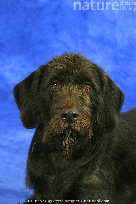 Domestic dog, German Broken-coated Pointing Dog  ,  CUTE,DOGS,FACES,gundogs,pedigree,PETS,sporting,Studio,VERTEBRATES,VERTICAL,Canids  ,  Petra Wegner