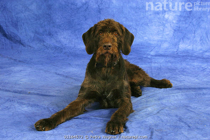 Domestic dog, German Broken-coated Pointing Dog, DOGS,gundogs,lying down,pedigree,PETS,sporting,Studio,VERTEBRATES,Canids, Petra Wegner