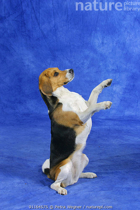 Domestic dog, Beagle bitch begging, sitting on hind legs with paws in the air  ,  DOGS,hounds,pedigree,PETS,SITTING,Studio,trick,tricks,VERTEBRATES,VERTICAL,Canids  ,  Petra Wegner