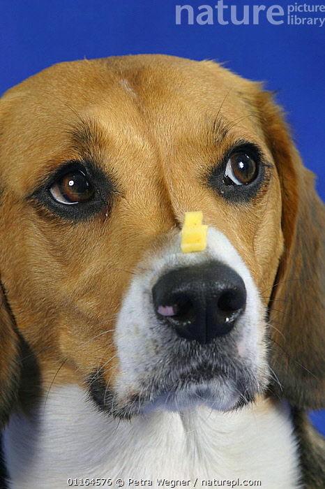 Domestic dog, Beagle balancing food on her nose, DOGS,hounds,obedience,obedient,patience,pedigree,PETS,Studio,tricks,VERTEBRATES,VERTICAL,Canids, Petra Wegner