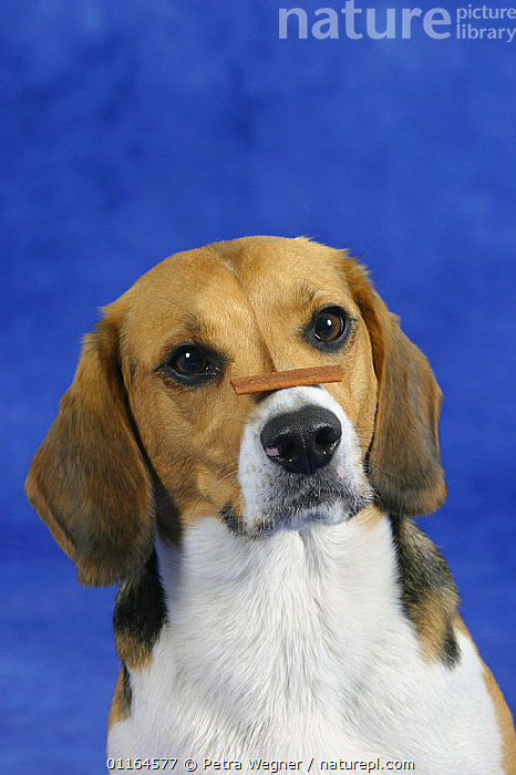 Domestic dog, Beagle balancing food on her nose, DOGS,FACES,hounds,obedience,obedient,patience,pedigree,PETS,Studio,tricks,VERTEBRATES,VERTICAL,Canids, Petra Wegner