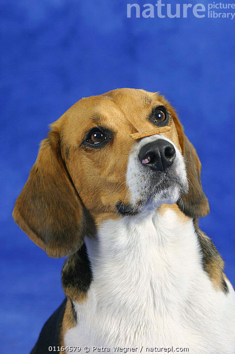 Domestic dog, Beagle balancing food on her nose, DOGS,FACES,hounds,NOSES,obedience,obedient,patience,pedigree,PETS,Studio,tricks,VERTEBRATES,VERTICAL,Canids, Petra Wegner