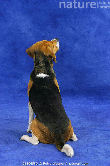 Domestic dog, back of a Beagle  ,  DOGS,hounds,pedigree,PETS,SITTING,Studio,VERTEBRATES,VERTICAL,Canids  ,  Petra Wegner