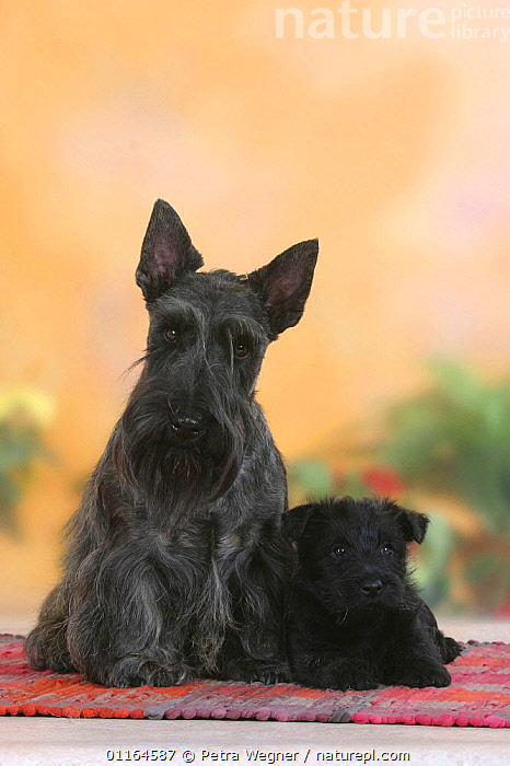 Domestic dog, black Scottish Terrier with puppy, 6 weeks  ,  BABIES,BABY,CUTE,DOGS,FAMILIES,JUVENILE,pedigree,PETS,puppies,puppy,SITTING,Studio,terriers,VERTEBRATES,VERTICAL,Canids  ,  Petra Wegner