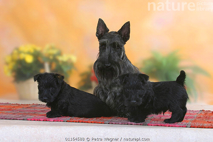 Domestic dog, black Scottish Terrier with two puppies, 6 weeks  ,  BABIES,BABY,CUTE,DOGS,FAMILIES,JUVENILE,pedigree,PETS,puppies,puppy,Studio,terriers,VERTEBRATES,Canids  ,  Petra Wegner