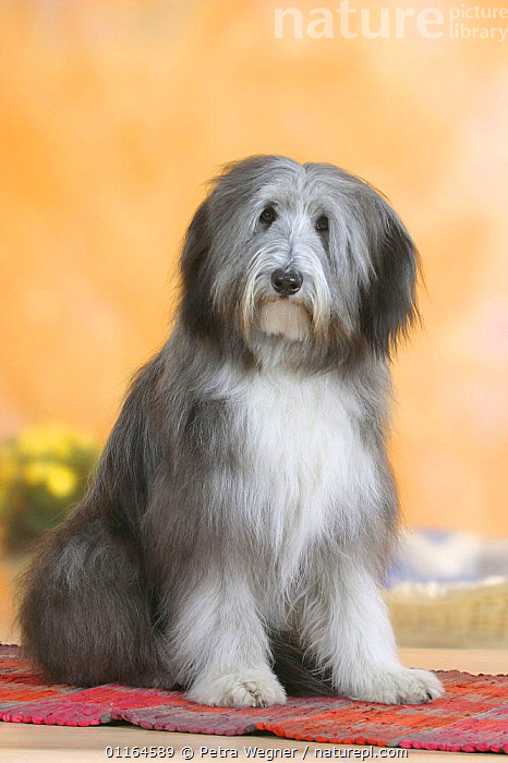 Domestic dog, Bearded Collie  ,  DOGS,pastoral,pedigree,PETS,SITTING,Studio,VERTEBRATES,VERTICAL,Canids  ,  Petra Wegner