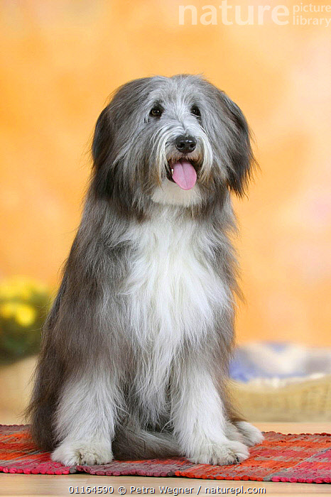 Domestic dog, Bearded Collie, CUTE,DOGS,panting,pastoral,pedigree,PETS,SITTING,Studio,VERTEBRATES,VERTICAL,Canids, Petra Wegner