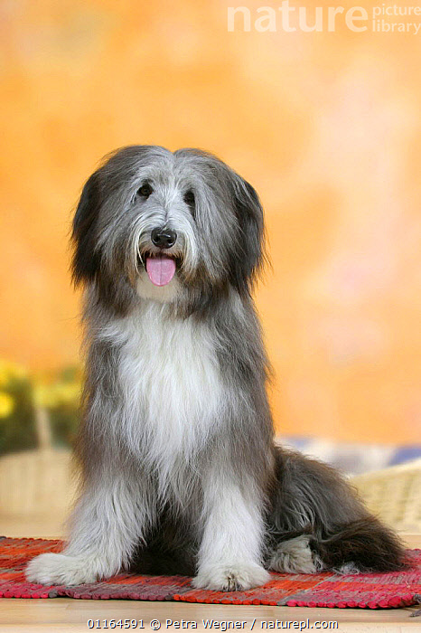 Domestic dog, Bearded Collie  ,  CUTE,DOGS,panting,pastoral,pedigree,PETS,SITTING,Studio,VERTEBRATES,VERTICAL,Canids  ,  Petra Wegner