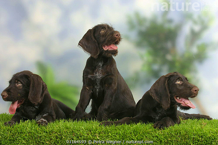 Domestic dogs, three German Wire-haired Pointing Dog puppies, 9 weeks  ,  BABIES,BABY,CUTE,DOGS,FRIENDS,gundogs,JUVENILE,lying down,panting,pedigree,PETS,puppies,puppy,SITTING,sporting,Studio,TONGUES,VERTEBRATES,Canids  ,  Petra Wegner
