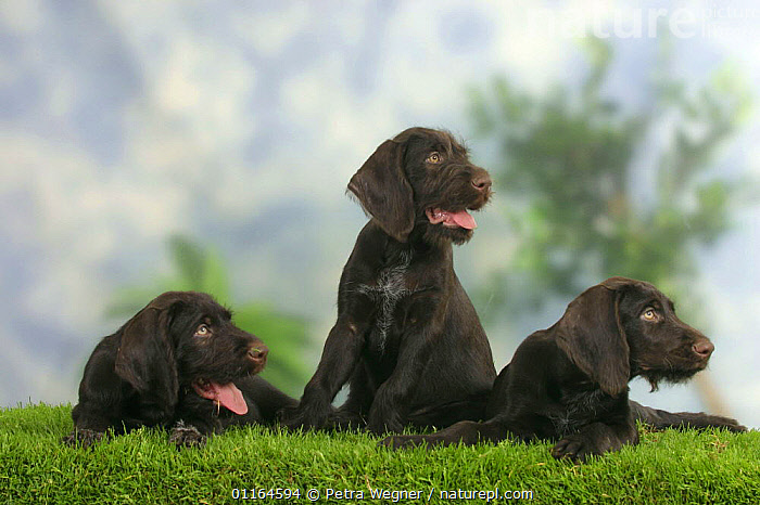 Domestic dogs, three German Wire-haired Pointing Dog puppies, 9 weeks, BABIES,BABY,CUTE,DOGS,FRIENDS,gundogs,JUVENILE,lying down,panting,pedigree,PETS,puppies,puppy,SITTING,sporting,Studio,VERTEBRATES,Canids, Petra Wegner