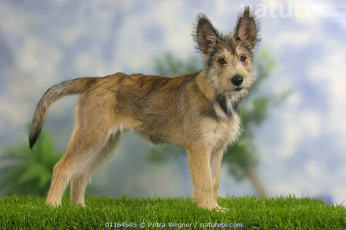 Domestic dog, Picardy Shepherd / Berger Picard puppy, 14 weeks  ,  BABIES,BABY,CUTE,DOGS,JUVENILE,pastoral,pedigree,PETS,puppies,puppy,STANDING,Studio,VERTEBRATES,Canids  ,  Petra Wegner