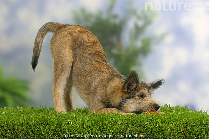 Domestic dog, Picardy Shepherd / Berger Picard puppy, 14 weeks, playbowing., BABIES,BABY,BEHAVIOUR,bowing,CUTE,DOGS,JUVENILE,pastoral,pedigree,PETS,playing,puppies,puppy,Studio,toys,VERTEBRATES,Canids, Petra Wegner