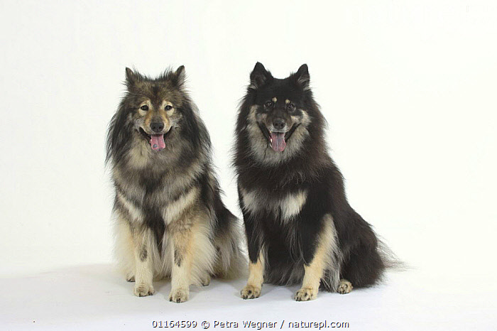 Domestic dog, two Eurasiers with varying blueness of their tongues  ,  BLUE,CUTOUT,DOGS,FRIENDS,panting,pedigree,PETS,SITTING,Studio,utility,VERTEBRATES,WORKING,Canids  ,  Petra Wegner