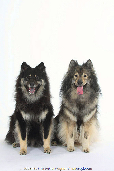 Domestic dog, two Eurasiers with varying blue tinges on their tongues.  ,  CUTOUT,DOGS,FRIENDS,panting,pedigree,PETS,SITTING,Studio,TONGUES,utility,VERTEBRATES,VERTICAL,WORKING,Canids  ,  Petra Wegner