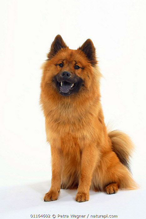 Domestic dog, fawn Eurasier showing blue tongue.  ,  CUTOUT,DOGS,pedigree,PETS,SITTING,Studio,TONGUES,utility,VERTEBRATES,VERTICAL,WORKING,Canids  ,  Petra Wegner