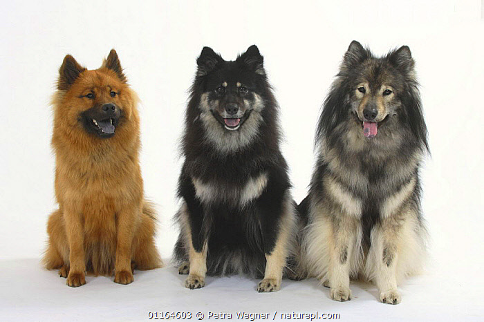 Domestic dogs, three Eurasiers of different colours and varying degrees of blueness of their tongues., BLUE,Color,CUTOUT,DOGS,FRIENDS,pedigree,PETS,SITTING,Studio,utility,VERTEBRATES,WORKING,Canids, Petra Wegner