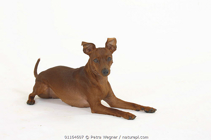Domestic dog, Miniature Pinscher lying down  ,  CUTOUT,DOGS,pedigree,PETS,Studio,toy dogs,VERTEBRATES,Canids  ,  Petra Wegner