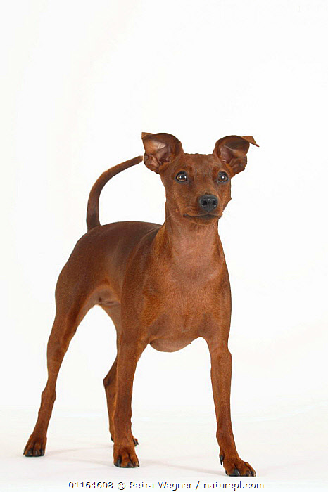 Domestic dog, Miniature Pinscher standing  ,  CUTOUT,DOGS,pedigree,PETS,STANDING,Studio,toy dogs,VERTEBRATES,VERTICAL,Canids  ,  Petra Wegner
