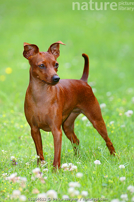 Domestic dog, Miniature Pinscher standing, DOGS,outdoors,pedigree,PETS,STANDING,toy dogs,VERTEBRATES,VERTICAL,Canids, Petra Wegner