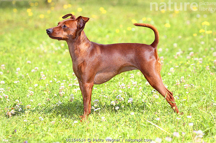 Domestic dog, Miniature Pinscher, DOGS,outdoors,pedigree,PETS,PROFILE,STANDING,toy dogs,VERTEBRATES,Canids, Petra Wegner
