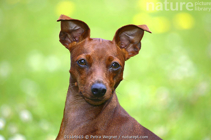 Domestic dog, Miniature Pinscher, DOGS,FACES,HEADS,pedigree,PETS,toy dogs,VERTEBRATES,Canids, Petra Wegner