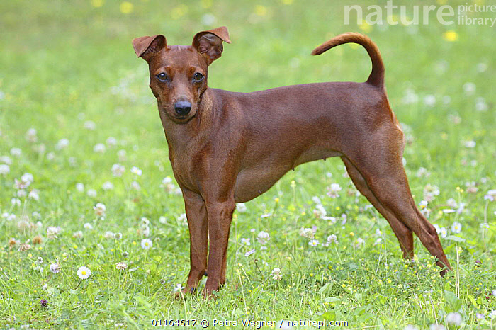 Domestic dog, Miniature Pinscher, DOGS,pedigree,PETS,PROFILE,STANDING,toy dogs,VERTEBRATES,Canids, Petra Wegner