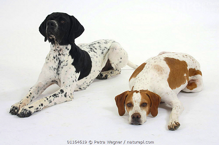 Domestic dog, English Pointer pair, Color,colour,CUTOUT,DOGS,FRIENDS,gundogs,lying down,MORPHISM,pedigree,PETS,sporting,Studio,VERTEBRATES,Canids, Petra Wegner