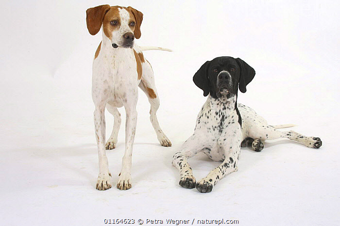 Domestic dog, English Pointer pair, Color,colour,COLOUR MORSPHISM,CUTOUT,DOGS,FRIENDS,gundogs,lying down,pedigree,PETS,sporting,Studio,VERTEBRATES,Canids, Petra Wegner