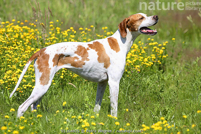 Domestic dog, English Pointer  ,  DOGS,gundogs,outdoors,pedigree,PETS,PROFILE,sporting,STANDING,Studio,VERTEBRATES,Canids  ,  Petra Wegner