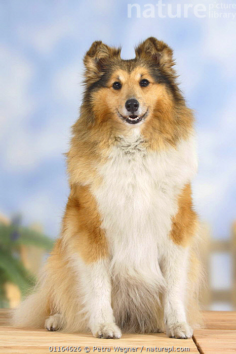 Domestic dog, Sheltie / Shetland Sheepdog, CUTE,DOGS,pastoral,pedigree,PETS,SITTING,Studio,VERTEBRATES,VERTICAL,Canids, Petra Wegner