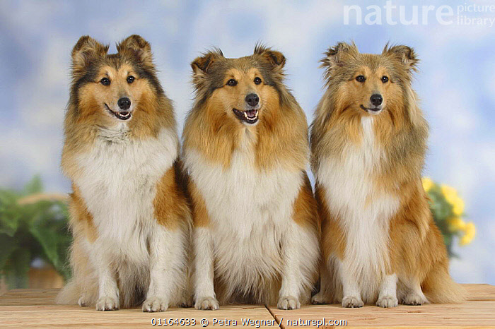 Domestic dog, three Shelties / Shetland Sheepdogs sitting in a line  ,  CUTE,DOGS,FRIENDS,pastoral,pedigree,PETS,ROW,SITTING,Studio,VERTEBRATES,Canids  ,  Petra Wegner