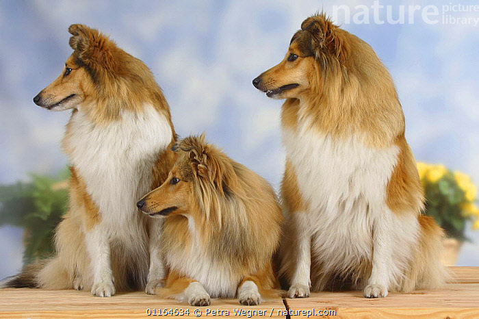 Domestic dog, three Shelties / Shetland Sheepdogs sitting in a line and looking to one side, CUTE,DOGS,FRIENDS,lying down,pastoral,pedigree,PETS,PROFILE,ROW,SITTING,Studio,VERTEBRATES,Canids, Petra Wegner