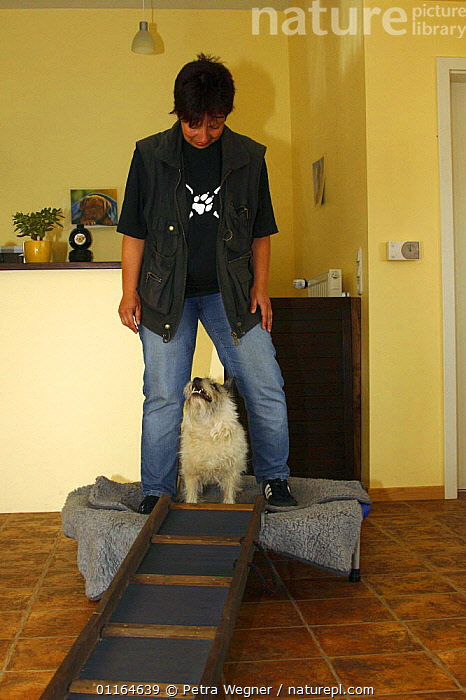 Domestic dog, Cairn Terrier having physiotherapy, balance practice  ,  DOGS,pedigree,PETS,terriers,VERTEBRATES,VERTICAL,Canids  ,  Petra Wegner