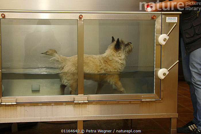 Domestic dog, Cairn Terrier having physiotherapy in water, therapeutic exercises, DOGS,pedigree,PETS,terriers,VERTEBRATES,Canids, Petra Wegner