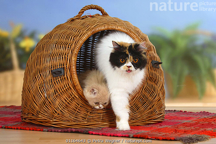 Persian Cat and kitten, coming out of travel basket / kennel  ,  BABIES,BABY,CATS,CUTE,FAMILIES,JUVENILE,kittens,pedigree,PETS,Studio,Travel,VERTEBRATES  ,  Petra Wegner