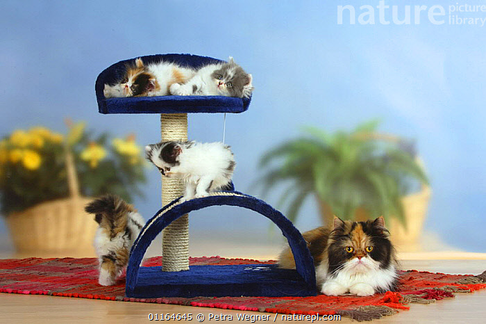 Persian Cat and four kittens on climbing / play frame  ,  BABIES,BABY,CATS,CUTE,FAMILIES,JUVENILE,kitten,kittens,pedigree,PETS,playing,Studio,VERTEBRATES  ,  Petra Wegner