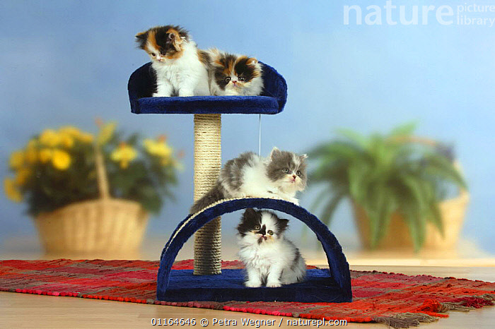 Four Persian Cat kittens on climbing / play frame, BABIES,BABY,CATS,CUTE,FLUFFY,JUVENILE,kitten,kittens,pedigree,PETS,playing,Studio,VERTEBRATES, Petra Wegner
