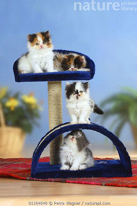 Four Persian Cats kittens on play / climbing frame  ,  BABIES,BABY,CATS,CUTE,FLUFFY,JUVENILE,kitten,kittens,pedigree,PETS,playing,SITTING,Studio,VERTEBRATES,VERTICAL  ,  Petra Wegner