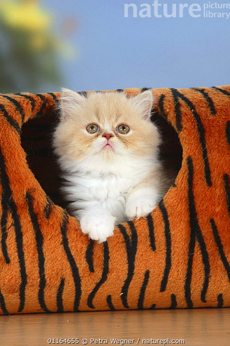 Persian kitten, in toy tunnel  ,  BABIES,BABY,CATS,CUTE,FLUFFY,JUVENILE,pedigree,PETS,playing,Studio,VERTEBRATES,VERTICAL  ,  Petra Wegner