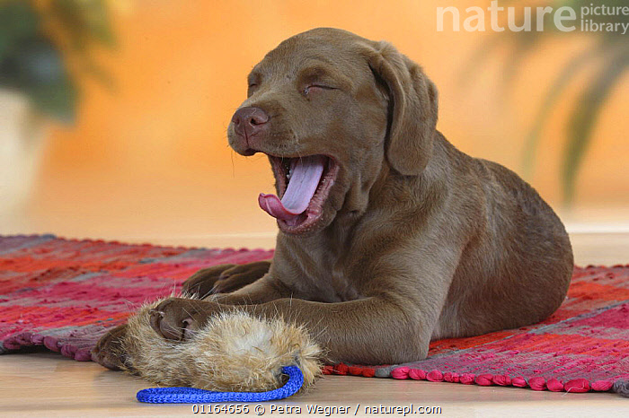 Domestic dog, yawning Chesapeake Bay Retriever puppy, 9 weeks, with toy, BABIES,BABY,CUTE,DOGS,gundogs,JUVENILE,lying down,pedigree,PETS,puppies,puppy,sporting,Studio,TONGUES,VERTEBRATES,Canids, Petra Wegner